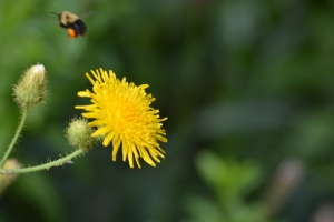 bee flying dandylion