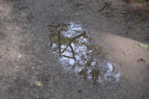 tree reflection in puddle