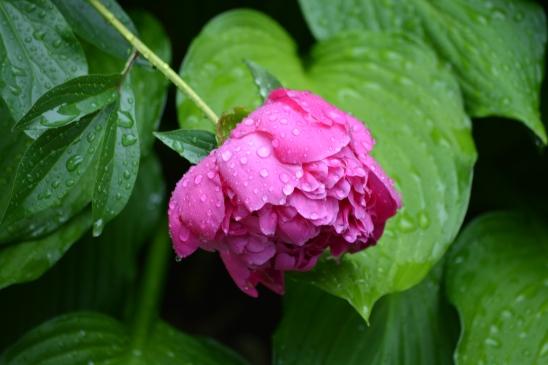 rain drenched peony