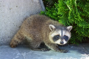 cute baby raccoon