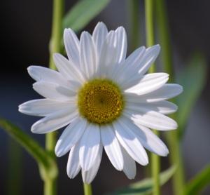 perfect daisy